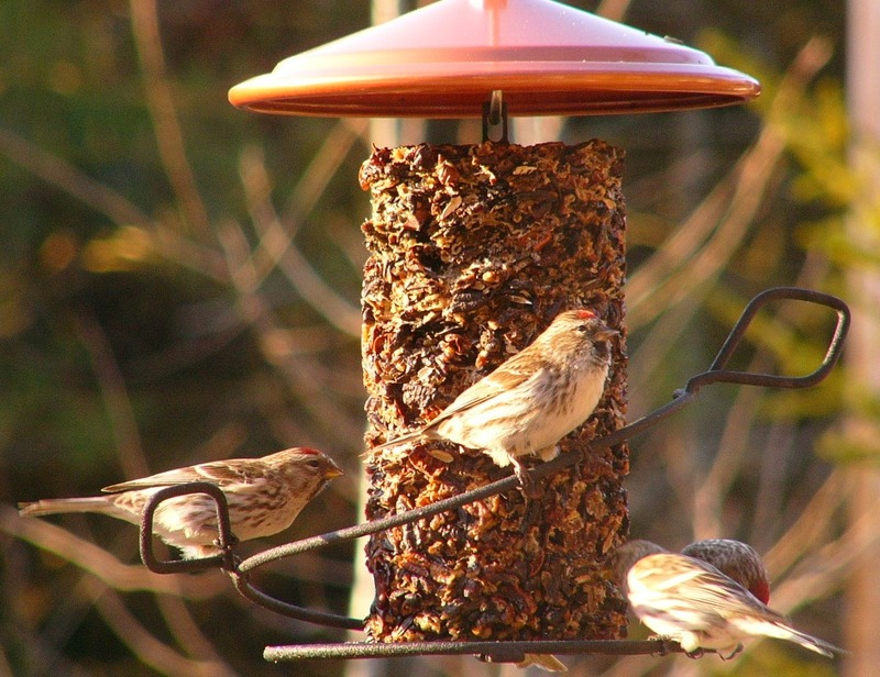 Common_redpoll_p1200479